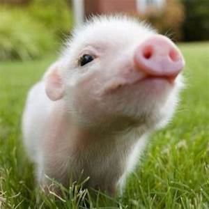 Tea cup pig(: | cute animals | Pinterest | Pets, Little ...