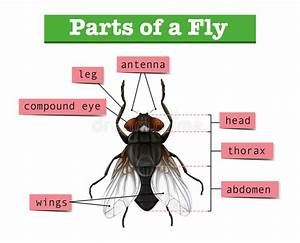 Diagram Showing Parts Of Fly Stock Vector