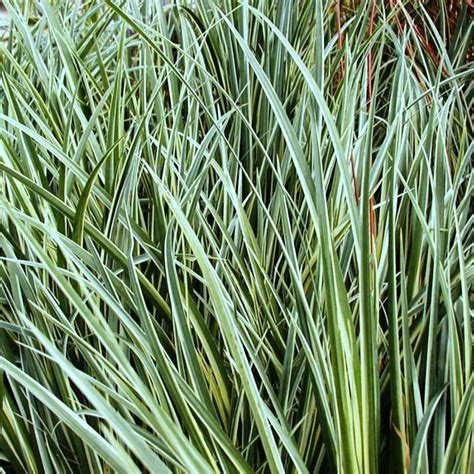 ornamental grass plants ornamental grass 12 mixed variety collection plants to plant from plantstoplant