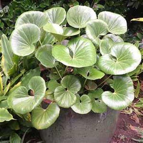 farfugium japonicum gigantea  san marcos growers