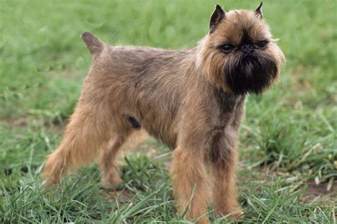 do brussels griffon shed a lot brussels griffon images frompo