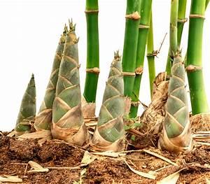 Bamboo, Shoot, U2013, Lushai, Bangladesh