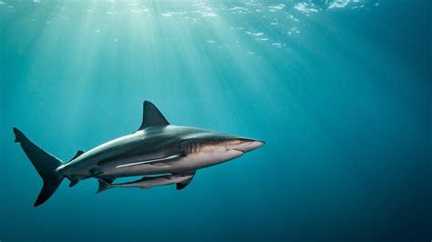 wallpaper shark underwater  travel
