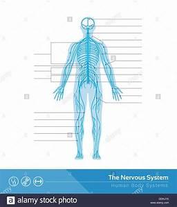 Central Nervous System Diagram Labeled