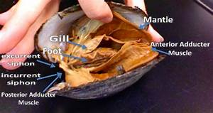 Great Diagram For Dissecting A Clam