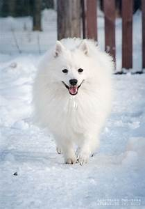 japanese spitz in the snow - white on white | Japanese ...