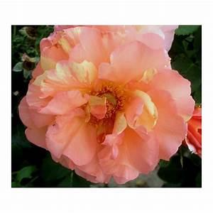 Rosier Grimpant Remontant : rosier plein sud ~ Melissatoandfro.com Idées de Décoration