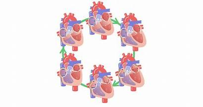 Cardiac Cycle Phases Phase Atrial Contraction