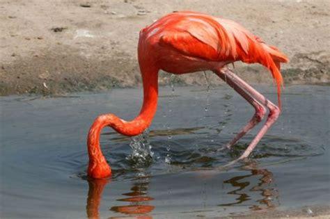 confused flamingos epic fall  grace metro news