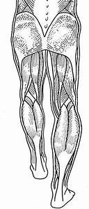 For Labeling Muscles Of The Back Of The Legs