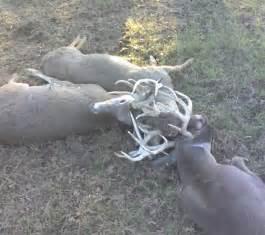 Whitetail Bucks Locked Antlers