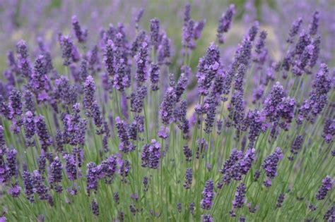 varieties of lavender lavender varieties