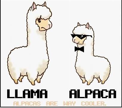 Alpaca Llama Vs Cartoon Lama Alpacas Llamas