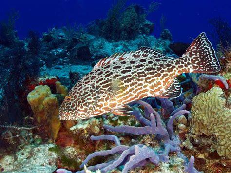 grouper yellowfin