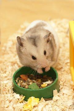 list    dwarf hamster  eat animals