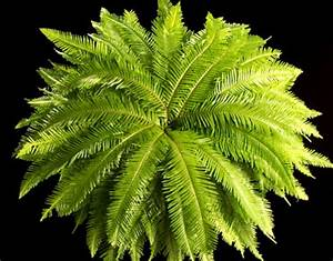 U S Greens Corp Umbrella Fern - U S Greens Corp