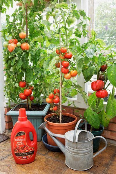 cucina green coltivare pomodori  vaso  nellorto
