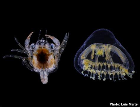 zooplankton taxonomy
