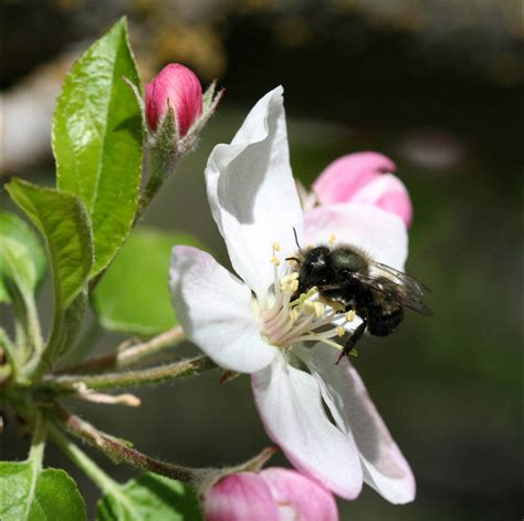apple pollinators growing fruit trees in east idaho town and country gardens