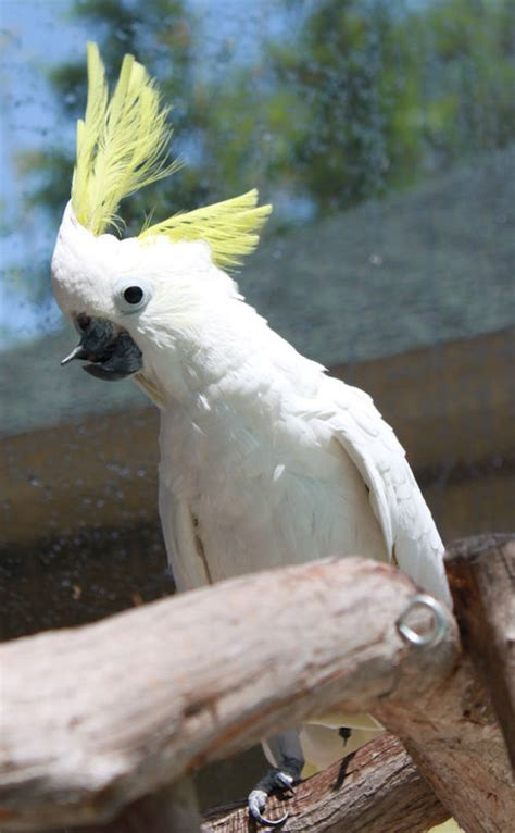 charlie sulfur crested cockatoo available for adoption