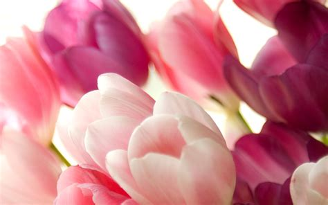 Hd Tulip Background by Tulip Wallpapers 183 Wallpapertag