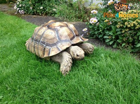 Sulcata Tortoise Could Rescue One And Let Stay Warm In The
