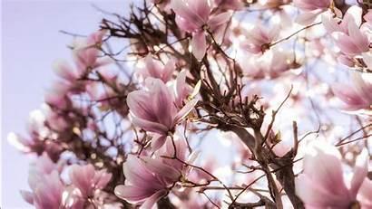 Magnolia Branch Blossom Flowers Spring Wallpapers Desktop