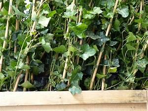 Efeu Pflanzen Kaufen : pflanzen mit anwachsgarantie hedera hibernica irischer efeu gest bt hier g nstig kaufen ~ Buech-reservation.com Haus und Dekorationen