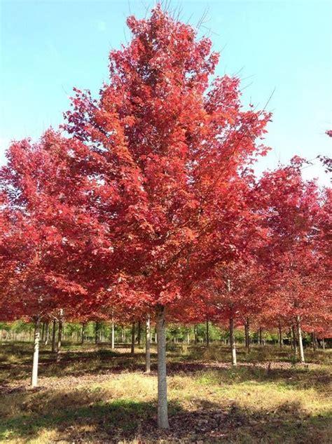 autumn blaze maple autumn blaze maple fall color pinterest