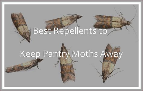 Moths In The Pantry Best Repellents To Keep Pantry Moths Away 2018 Pest Wiki