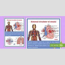 * New * Corpul Omenesc Inima, Plămânii, Vasele De Sânge Planșă