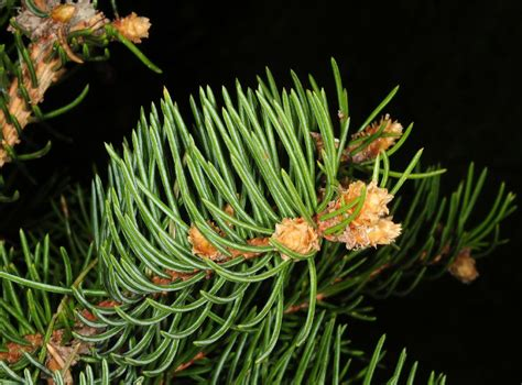 Picea asperata (Pinaceae) image 36790 at DiversityOfLife.org