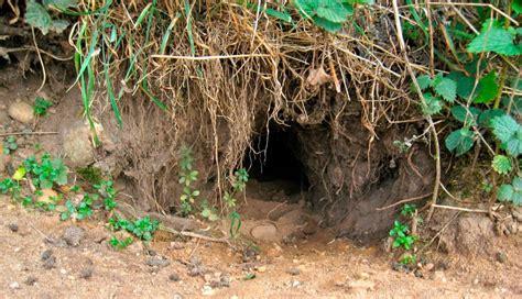 curiosidades sobre las razas de conejos imagenes  fotos