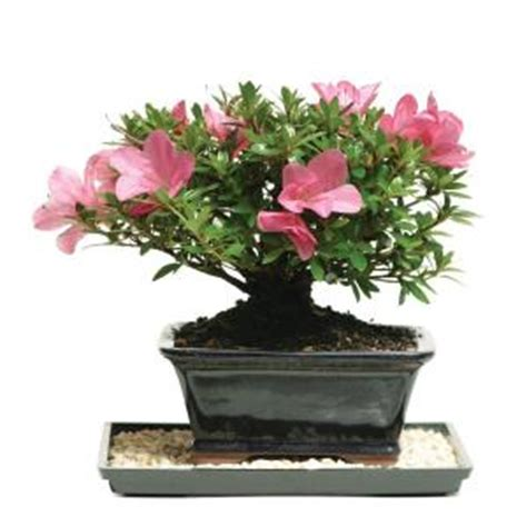 brussels bonsai satsuki azalea outdoor dt az