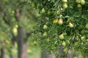 Starting An Orchard  Apples  Cherries  Peaches  Plums And