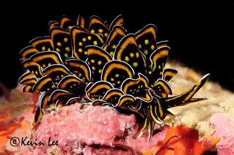 nudibranch sea slug slugs nigricans creatures underwater kenya animals lee colorful kevin flower connecticut species ocean pacific coral diver animal