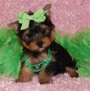 Baby Yorkie Puppies for Adoption