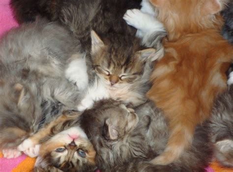 siberian cat fur shedding non shedding or low shedding breeds hypo allergenic