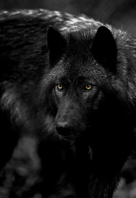 gorgeous black wolf yellow eyes  thuletumblr