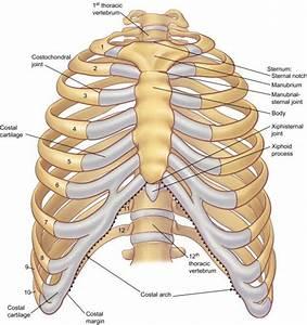 Anatomy Of The Rib Cage Diagram