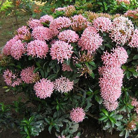 beli disini tanaman hias asoka bunga pink kualitas import