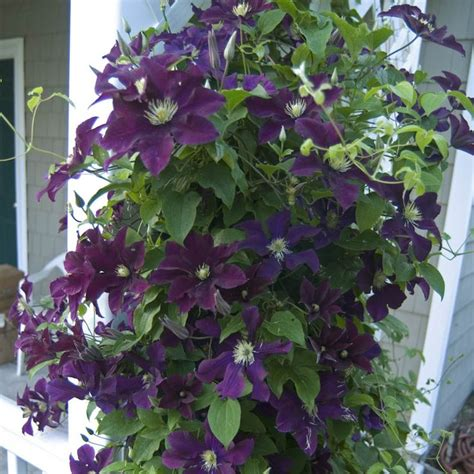 46 Best Images About Garden Vines On Pinterest