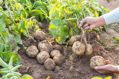 how to potatoes from garden how many potatoes per plant a harvest oct 2018