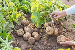 How Many Potatoes Per Plant  Having A Good Harvest  Apr  2019