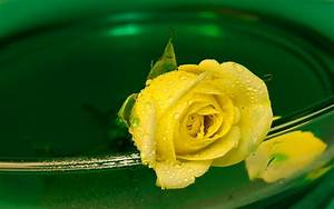 Yellow Rose Wallpapers HD Pictures – Download HD Flowers ...