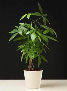 Eucalyptus Plante D Intérieur : pachira entretien arrosage maladies ~ Melissatoandfro.com Idées de Décoration