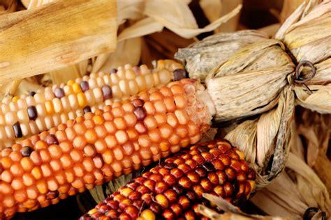 indian corn   stock photo public domain pictures