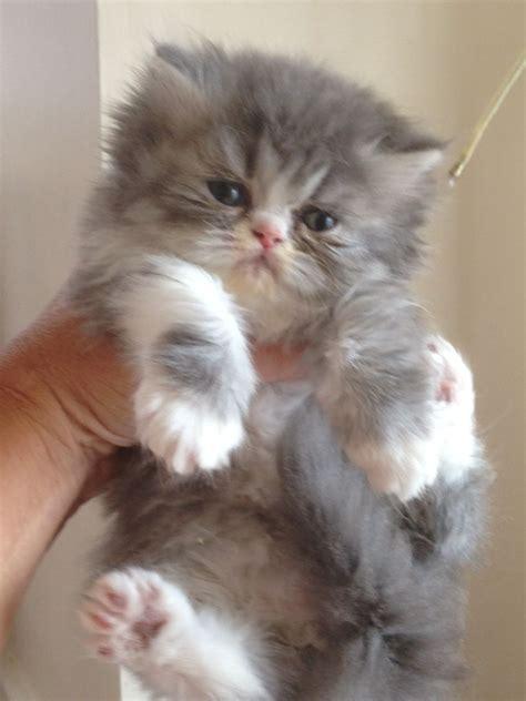 Persian Kitten  7 Charming Persian Cat Price Range