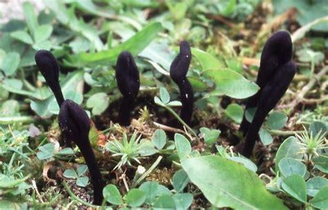 trichoglossum walteri kurzhaarige haarzunge