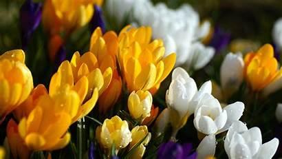 Crocus Crocuses Nature Flowers Wallpapers Flower Desktop